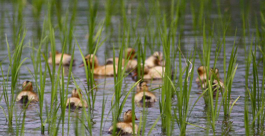 des canards dans une rizière pour la culture du riz en Aïgamo