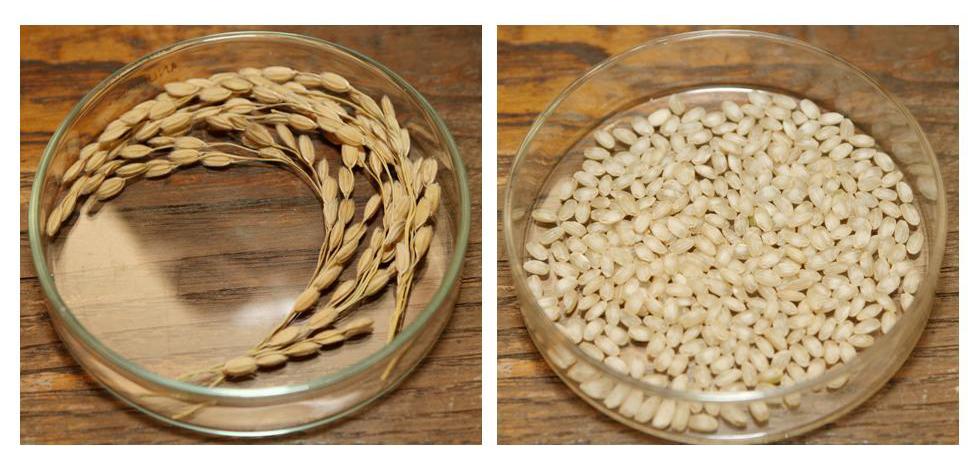 le riz gemaï, ou riz brut