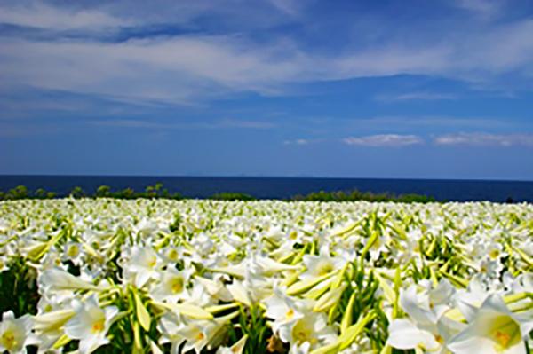 Lys blanc Santa Maria Ile d'iejima okinawa japon