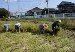 Four persons conducting harvesting rice manually