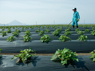 A farmer in his fields of sweet potato used for the production of Nishi Shuzo shochu